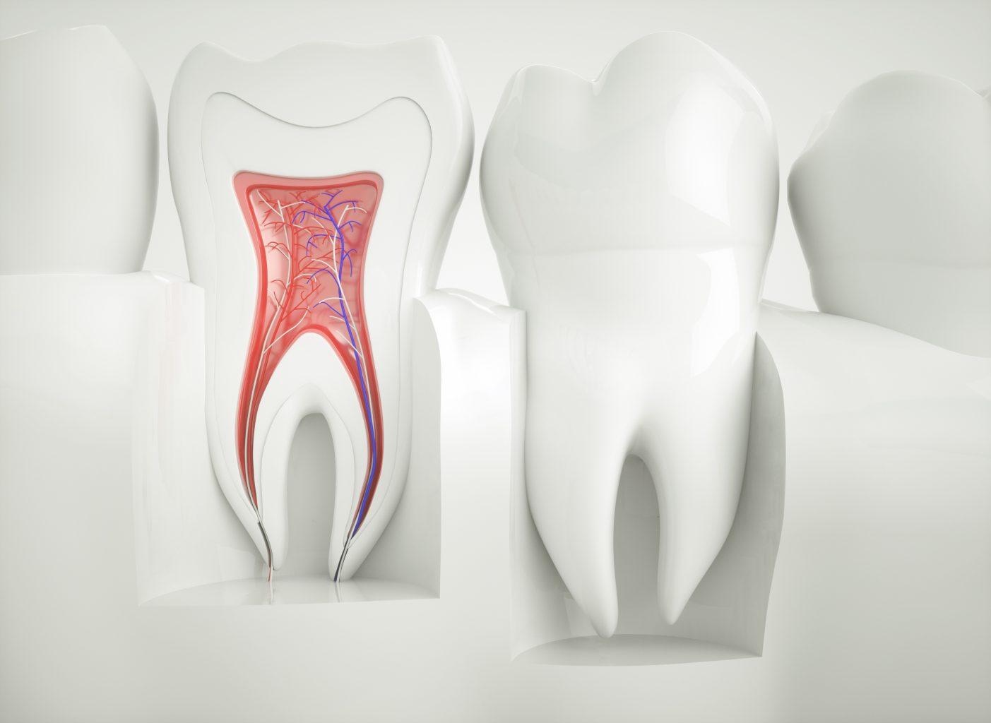 Anatomy Of Healthy Teeth 3d Rendering